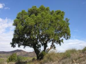 Tetraclinis-articulata-araar-sabina-Cartagena