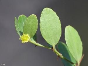 Arto-azufaifo-Ziziphus-lotus-hojas-flor