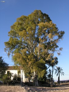 Eucalipto-monumental-Mayayo-Eucaliptus-camaldulensis