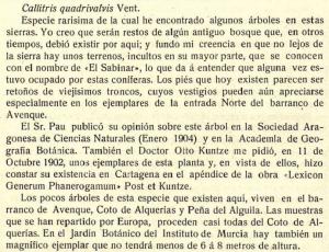 Callitris-quadrivalvis-Tetraclinis articulata-Jardin-Botanico-Instituto-Murcia-Malecon- Jimenez-Munuera-1908