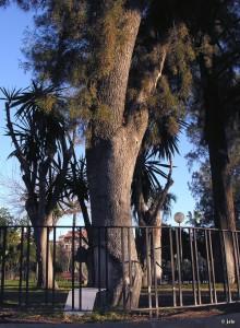 Sabina-Jardin-Botanico-Malecon-Murcia-Tetraclinis-articulata