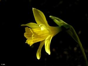 Flor-narciso-Villafuerte-Narcissus-nevadensis-enemeritoi-Moratalla-Murcia-vista-lateral