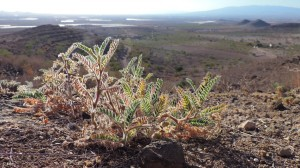 Astragalus-nitidiflorus-mayo-2004-Cabezo-Negro