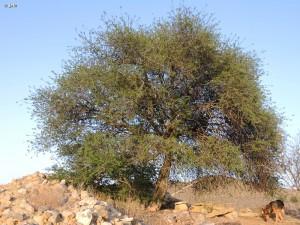 Argan-Argania-spinosa-Molina-de-Segura-Murcia