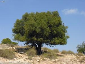 Argan-Argania-spinosa-Santa-Faz-Alicante