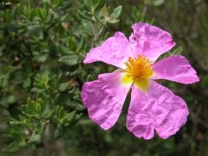 Jara de Cartagena (Cistus heterophyllus subsp. carthaginensis)