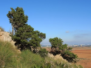 Tetraclinis-articulata-Callitris-quadrivalvis-Sandarac-tree-Barbary-thuja-Araar-Cipres-Sabina-Cartagena