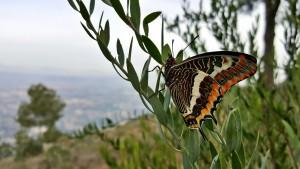2016-01-23-Charaxes-jasius-Mariposa-del-madroño-cortafuegos-Sierra-Cresta-del-Gallo