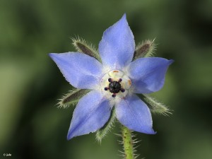 Borago-officinalis-borraja