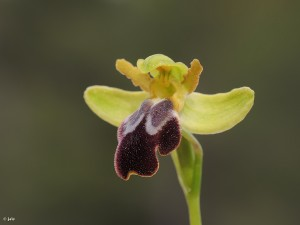 Ophrys-fusca-lupercalis-forestieri