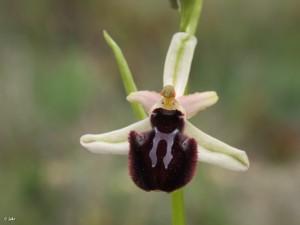 Ophrys-incubacea-Sierra-Burete