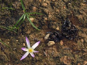 merendera-filifolia-mar-de-cristal-cartagena-flor-hojas-bulbos-superficiales