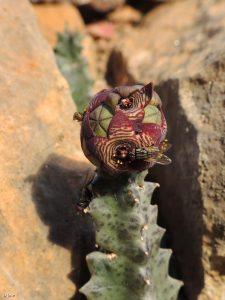 Flores y polinizadores de chumberillo de lobo (Caralluma europaea)